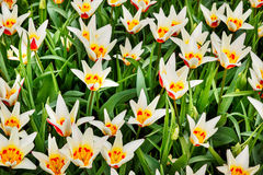 White tulips with yellow and red center Stock Photo