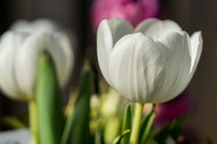 White tullip in bloom. Beautiful white tulip in bloom during springtime Stock Image