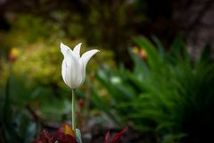 White tullip flower in a beautiful spring garden. White tullip flower in a beautiful spring garden Royalty Free Stock Image