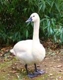 White Tundra Swan Cygnus columbianus bewickii Stock Image