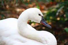 White Tundra Swan Cygnus columbianus whistling swan Royalty Free Stock Photography