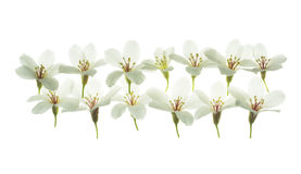White Tung Oil  flowers  isolated white Stock Images