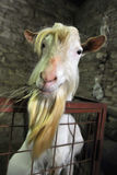 White Tup. Of hay in its mouth Stock Image