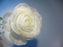 White turban buttercup. White ranunculus against blue background stock photo