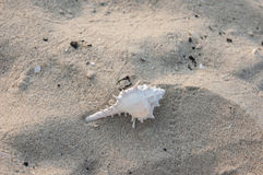 White turbinate. White trubinate on the beach,Thailand stock photos