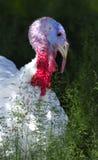 White Turkey. Portrait of a Young white Turkey, Meleagris gallopavo Stock Images