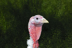 White Turkey Royalty Free Stock Photos