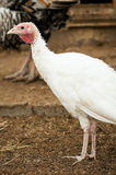 White turkey Royalty Free Stock Photography