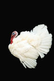 White turkey Stock Photography