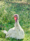 White turkey bird, close up, outdoor, sun rays light, country side Royalty Free Stock Images