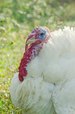 White turkey bird, close up, outdoor, sun rays light, country side Stock Photo