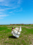 White turkey-cock. On a green grass royalty free stock photography