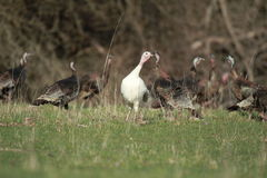 White turkey in a flock. A white turkey in a flock of wild turkeys Royalty Free Stock Photos