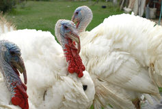 White turkey. Interesting portarit of a beautiful white turke Royalty Free Stock Photo