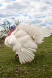 White turkey male or gobbler closeup on the blue sky background.  Stock Images