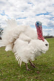 White turkey male or gobbler closeup on the blue sky background.  Royalty Free Stock Photos