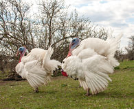 White turkey male or gobbler in the village Royalty Free Stock Images