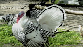 White turkey in mating season with female. In the background stock footage