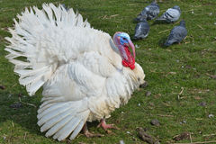 White Turkey Outdoors Royalty Free Stock Images