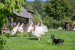 White turkeys and dog. White turkeys on green meadow, dog barking Stock Images
