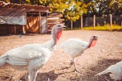 White turkeys. On the farm Royalty Free Stock Images