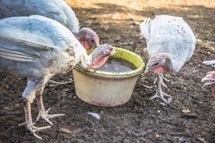 White turkeys Royalty Free Stock Photos