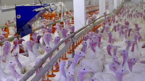White turkeys on the farm. Premises at poultry farm for growing broiler turkeys stock video