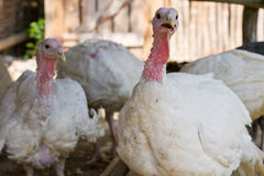 White turkeys feeding in a barnyard Royalty Free Stock Photos