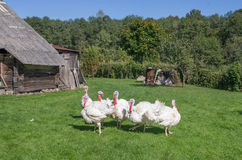 White turkeys Stock Photography