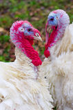 White turkeys two red heads heart form. Two white turkeys red heads makes form of heart Royalty Free Stock Image