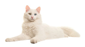 White turkish angora odd eye cat lying down seen from the side looking at the camera. Isolated on a white background Royalty Free Stock Image