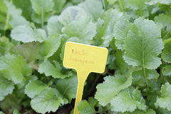 White turnip (brassica rapa) Royalty Free Stock Photo