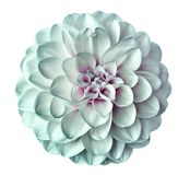 White-turquoise Flower Dahlia On A White Background Isolated With Clipping Path. Closeup. For Design. Stock Photography