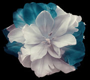 Flower White-turquoise tulip flower  on black isolated background with clipping path.  no shadows. Closeup. White-turquoise tulip flower  on black isolated Royalty Free Stock Photos