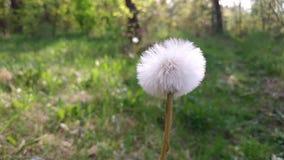 The white Tussilago farfara flower on the garden