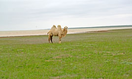 The white two-humped camel costs on the bank of the lake Manych- Gudilo. Kalmykia. The white two-humped camel costs on the bank of the lake Manych-Gudilo Stock Photo