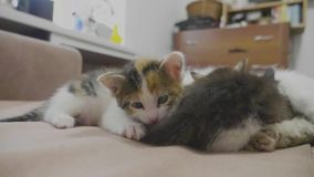White two kitten playing sleeps bite each other bite by the tail. two kittens played slow motion video. kittens are. White two kitten playing sleeps bite each stock footage