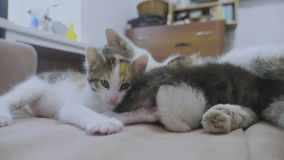 White two kitten playing sleeps bite each other bite by the tail. two kittens played slow motion video. lifestyle. White two kitten playing sleeps bite each stock footage