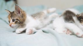 White two kitten playing sleeps bite each other. Two funny bite fighting playful lifestyle little hair kittens playing. With each other. two little kittens are stock video