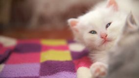 White two kitten playing sleeps bite each other stock footage
