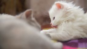 White two kitten playing sleeps bite each other stock video