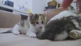 White two kitten playing sleeps bite each other bite by the tail. two kittens played slow motion video. kittens are. White two kitten playing sleeps bite each stock video footage