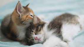 White two kitten playing sleeps bite each other. Two funny bite fighting playful little hair kittens playing with each. Other. two little kittens lifestyle are stock video footage