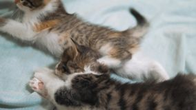 White two kitten playing sleeps bite each other. Two funny bite fighting playful little hair kittens playing with each. Other. two little kittens are sleeping stock video footage