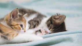 White two kitten playing sleeps bite each other. Two funny bite fighting playful little hair kittens playing lifestyle. With each other. two little kittens are stock footage