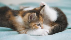 White two kitten playing sleeps bite each other. two kittens bite to fight are sleeping. two little kittens a are. White two kitten playing sleeps bite each stock footage