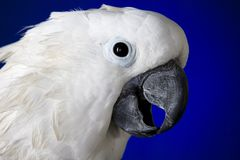 White umbrella cockatoo Royalty Free Stock Photography