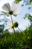 White under the sky. The colorful cosmea in a private garden stock image
