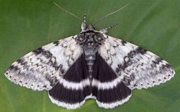 White Underwing Royalty Free Stock Images