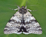 White Underwing Stock Photos